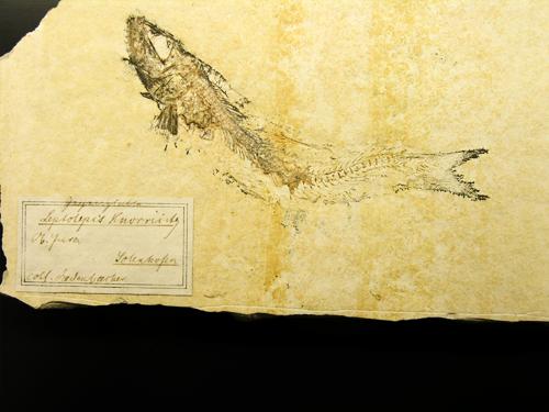 Leptolepis
